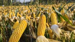鲜(甜)玉米加工全自动生产线,每日净产10吨鲜玉米粒